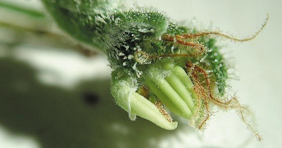 Como funcionan las hormonas en las plantas canna espa a for Hormonas en las plantas