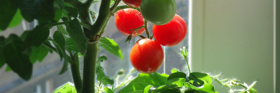 Cultívalo tú mismo: Tomates