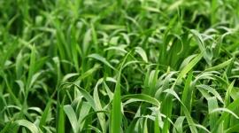 Cultívalo tú mismo: Hierba de cebada
