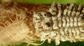 La Cochinilla Harinosa - Plagas y Enfermedades