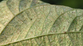 Ácaros tetraníquidos - Plagas & Enfermedades