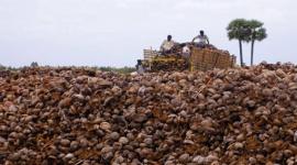 Calidad de fibra de coco